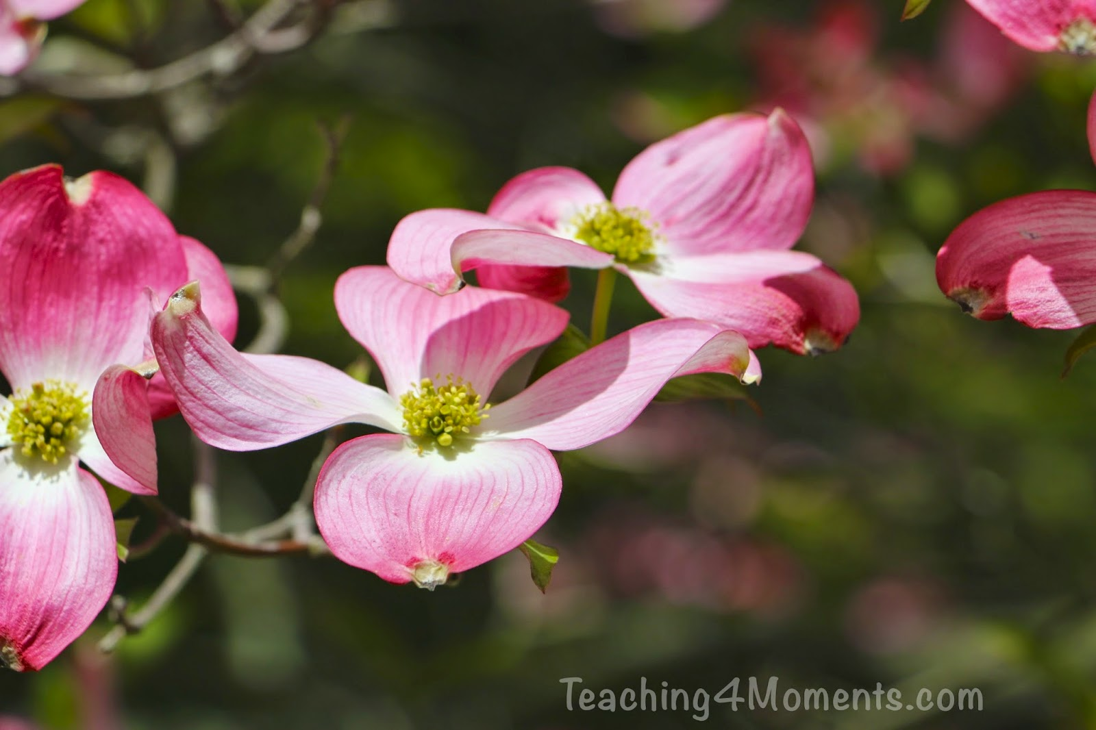 Teaching 4 Moments-Flowering Pink Dogwood
