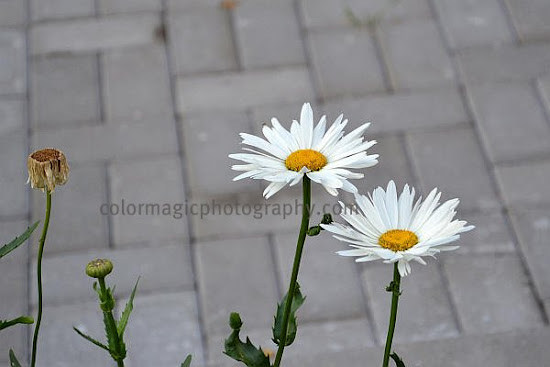 White daisies in autumn