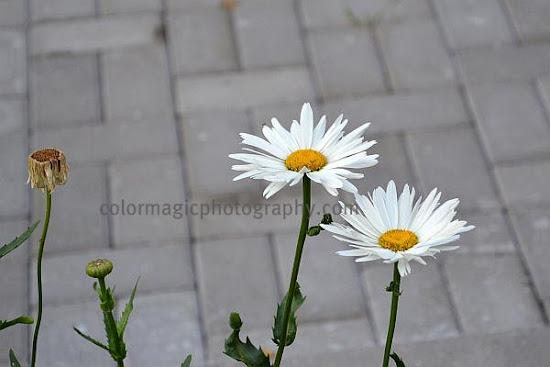 White daisies in autumn