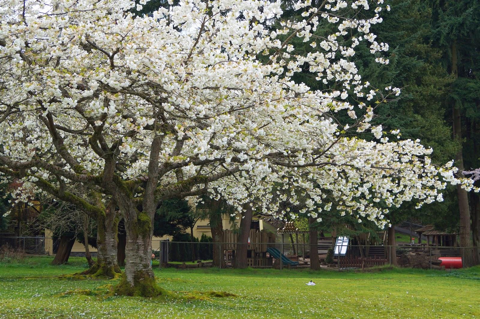 Большая сакура в парке Стенли