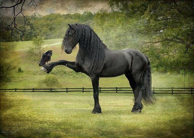 Uno splendido stallone nero ed il suo amico.....