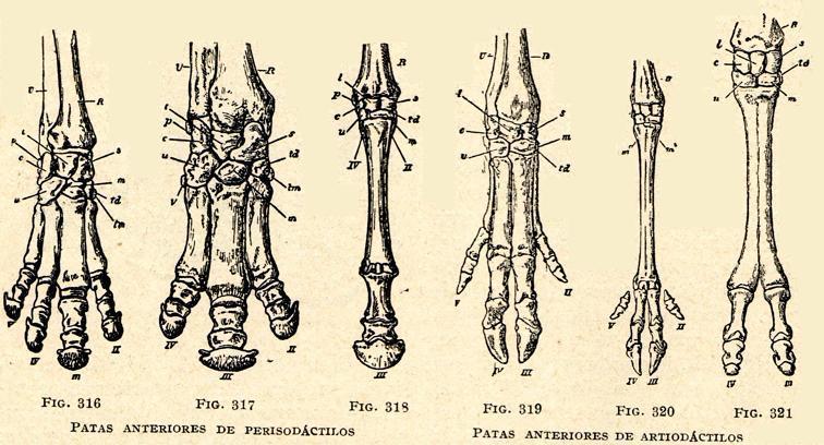 Aperrados: Anatomía: Figuras