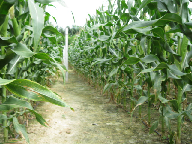Anim agriculture technology corn trial seed plot - Profitable crops small plots ...