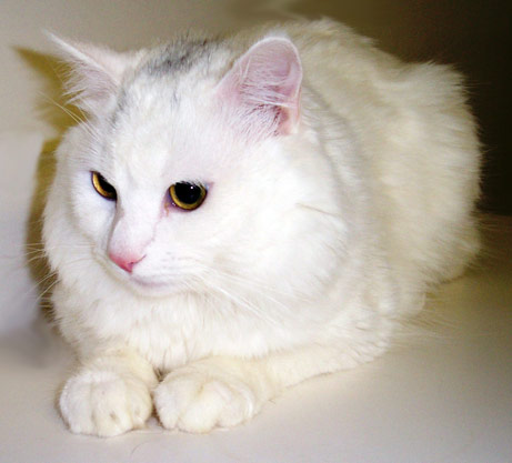 Cute Persian Cats White Cute White Long Hair Persian