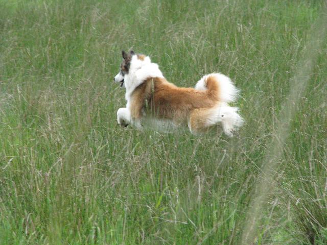 Popular Icelandic Sheepdog Canine Adorable Dog - Sherwood+Forests+Gunnar+3  You Should Have_188284  .jpg