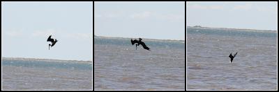 pelicans matagorda texas