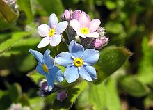 Our Forget Me Nots