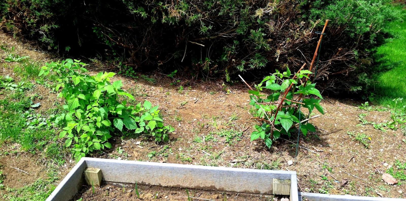 organic berry bushes