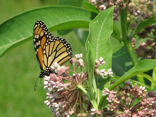 monarch butterflies and butterfly weed the co evolution of plant and pollinator The monarch butterfly and g rants are awarded to projects that create and sustain interconnected monarch and pollinator , monsanto company.