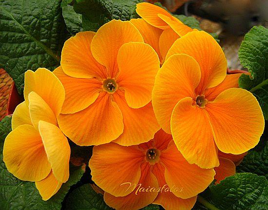 Orange primroses-scented Primula hortensis