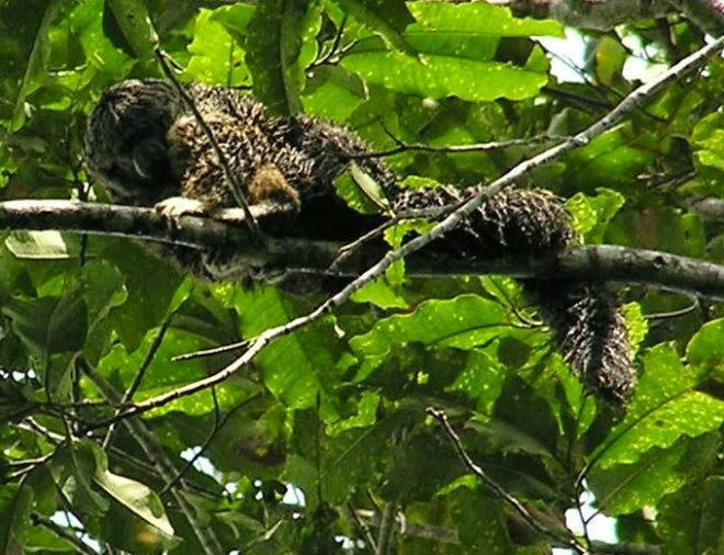 Bald-faced saki resting on tree trunk