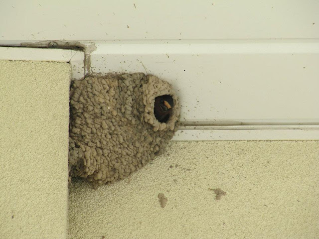 barn swallow, barn swallow nest, barn swallow nesting