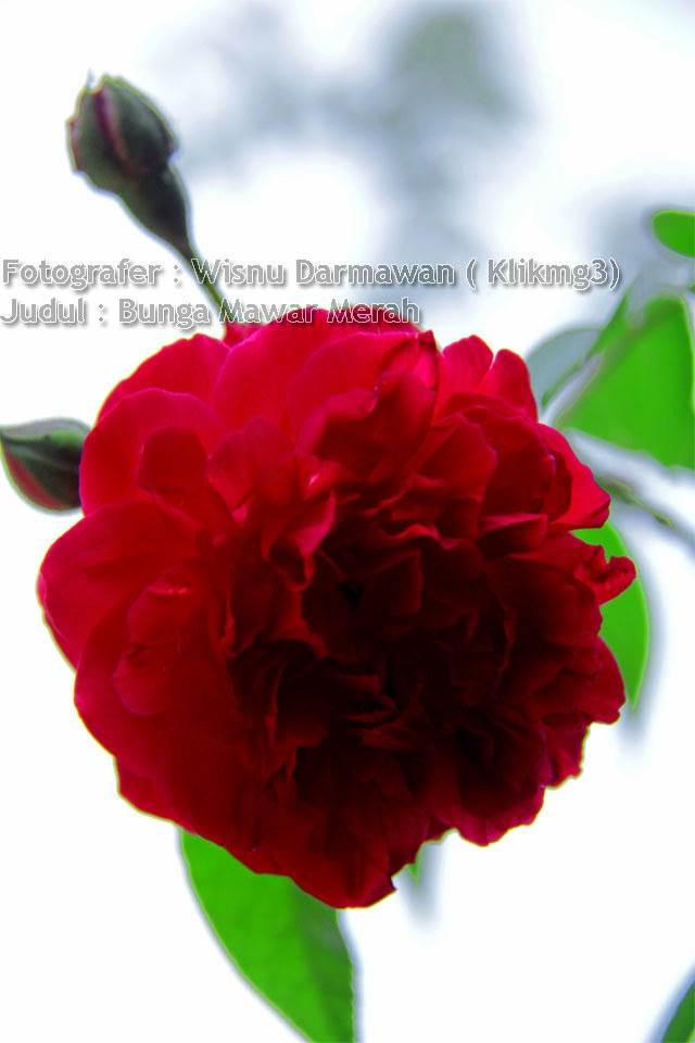 Judul : Bunga Mawar Merah | Digital Album Foto : Bunga Mawar Merah | Fotografer : Wisnu Darmawan