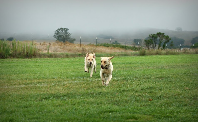 cabana running after a similar looking yellow lab in a big green field