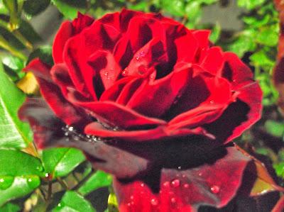 A receita de geleia de rosas de minha avó, a Madre Helena