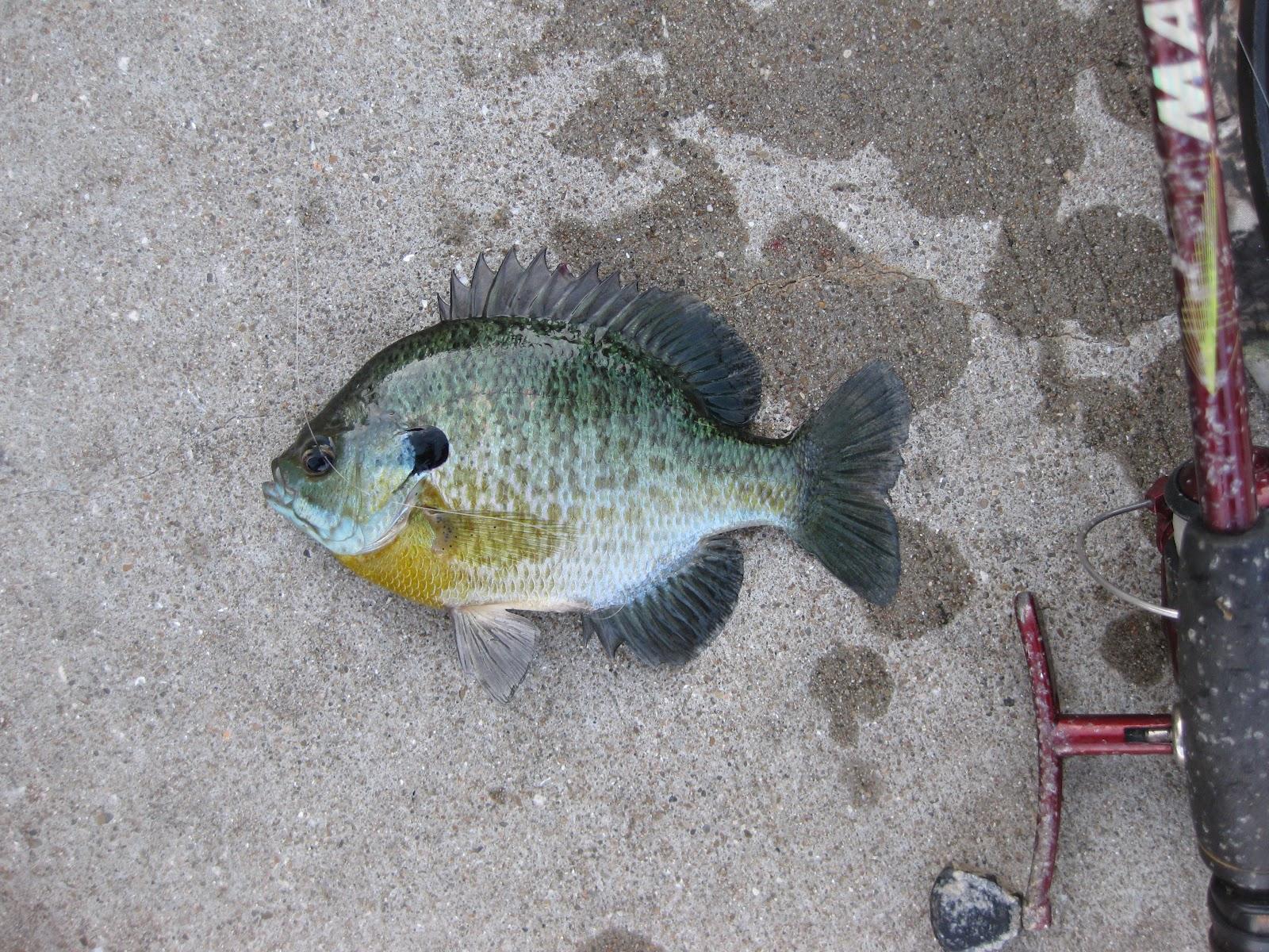 Lake erie fishing blog bluegills biting in presque isle bay for Presque isle bay fishing report
