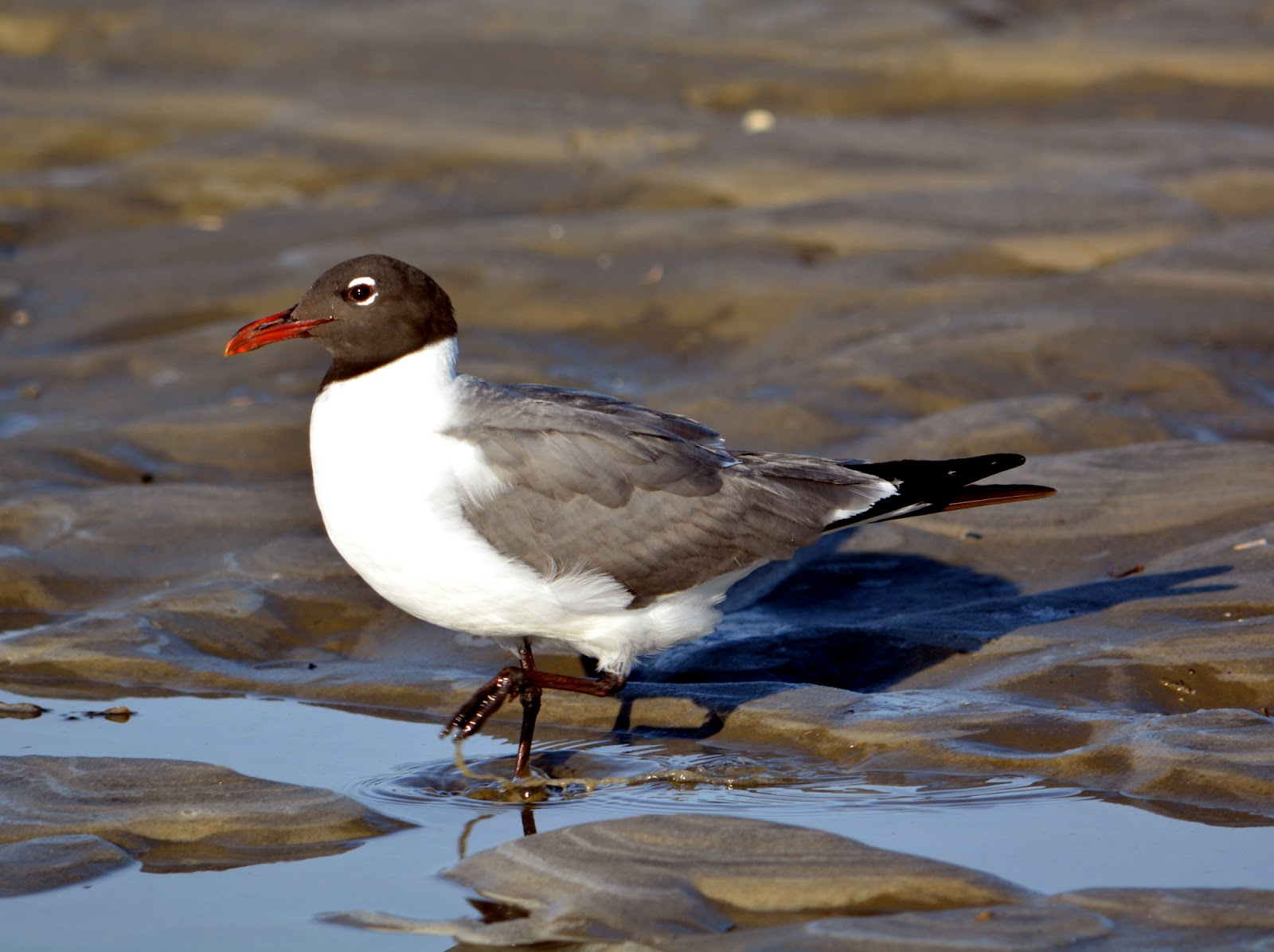 cozy birdhouse | a laughing gull. that's just the name, not any comment on its personality