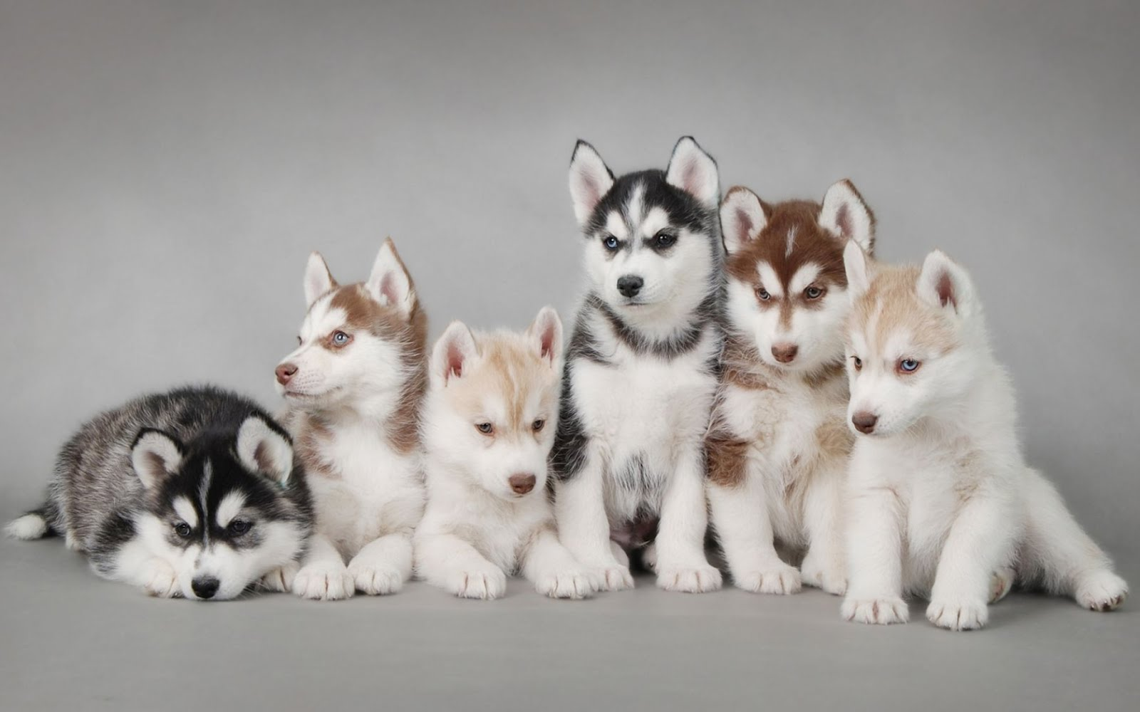 Siberian Husky Puppies - Hd Desktop Wallpaper