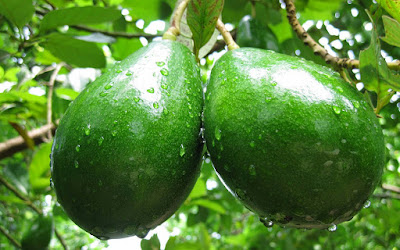 Amazing Health Benefits Of Avocado (Alligator Pear)