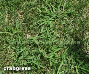 Crabgrass growing in thin spots.