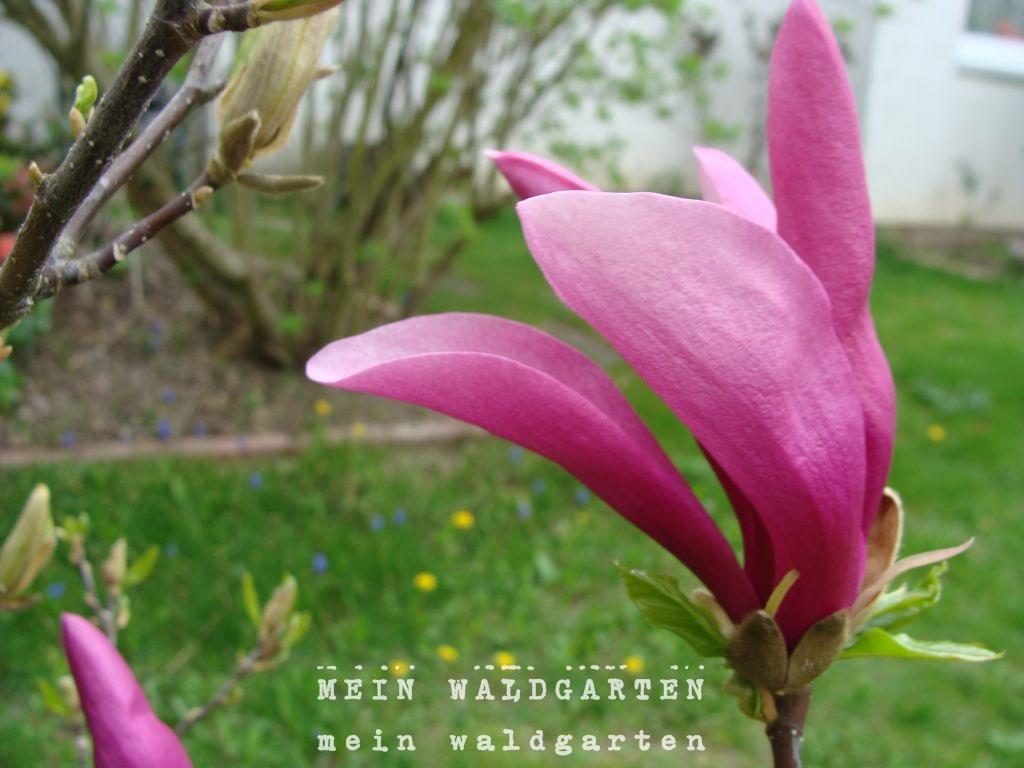 mein waldgarten und so bl ht unsere magnolie. Black Bedroom Furniture Sets. Home Design Ideas