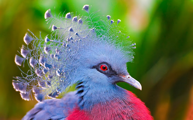 Victoria Crowned Pigeon Wallpaper