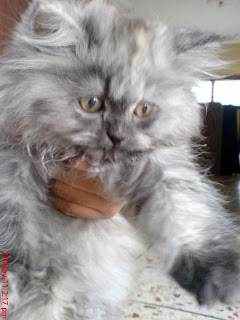 Pure Persian Cat For Sale In Karachi