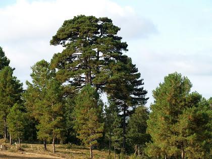 La Pinassa de la Closella sobresortint dels pins que l'envolten