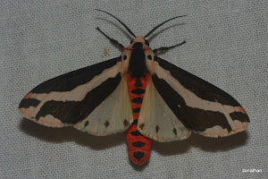 Footmans Moth(Open Spread Wings)