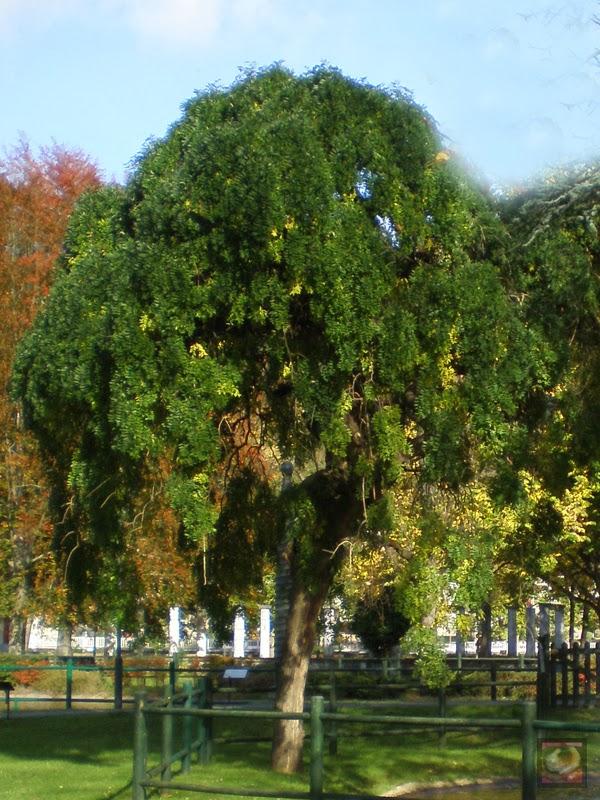 Acacia del japón del parque Arenatzarte en Güeñes (Bizkaia)
