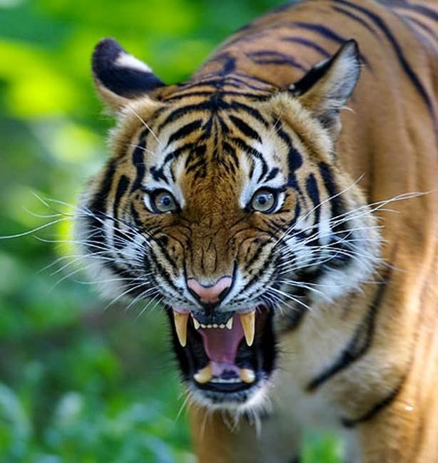 Menhut : Alam kehilangan wibawa tanpa harimau