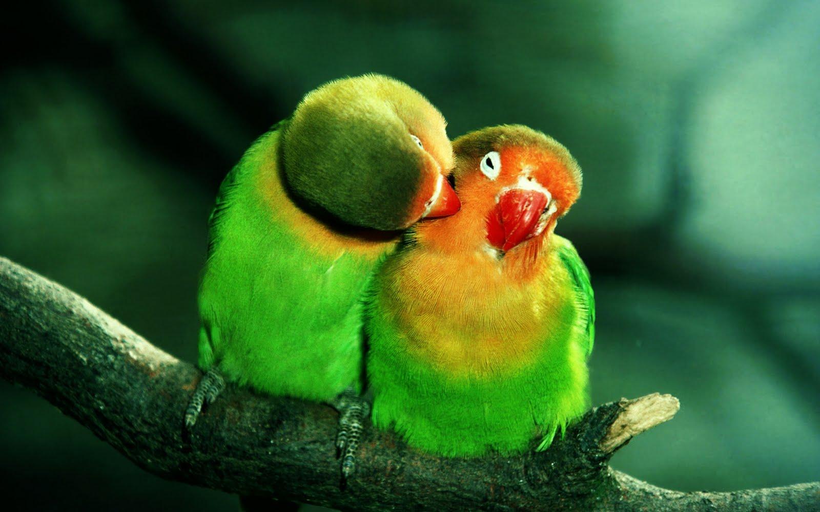 Pericos enamorados - Parrots in love (1920x1200)