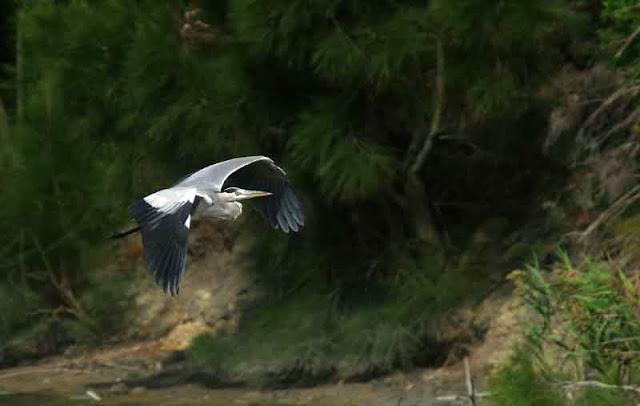 flight of Grey Heron