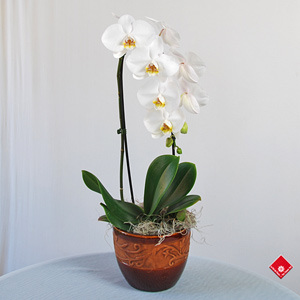 orchidee blanche tombante