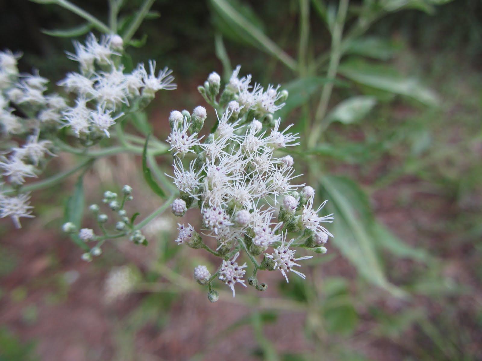 Using Georgia Native Plants Flowers Of The Fall Roadside