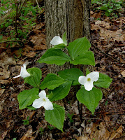 Large Flower Trillium