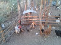 Em Nova Palmeira, Galinhas adotam raposa e juntas vivem em harmonia dentro de galinheiro
