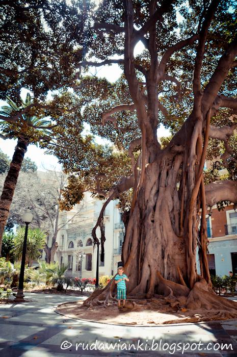 Alicante, drzewa.