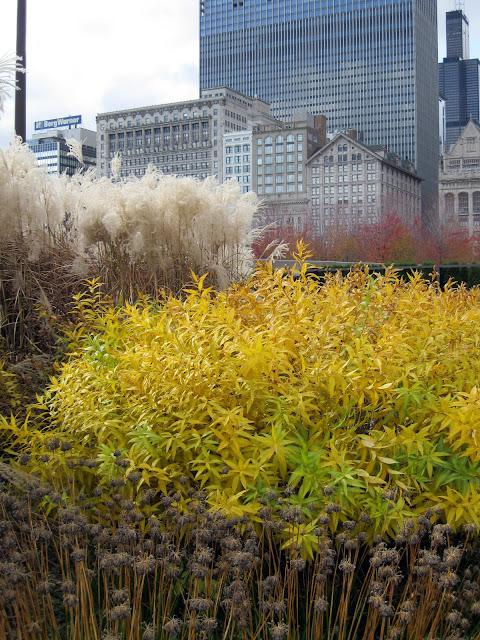 Amsonia allium miscanthus Lurie Garden