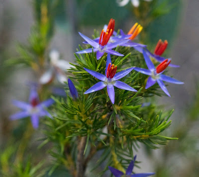 Blue Tinsel Lily (Calectasia sp)