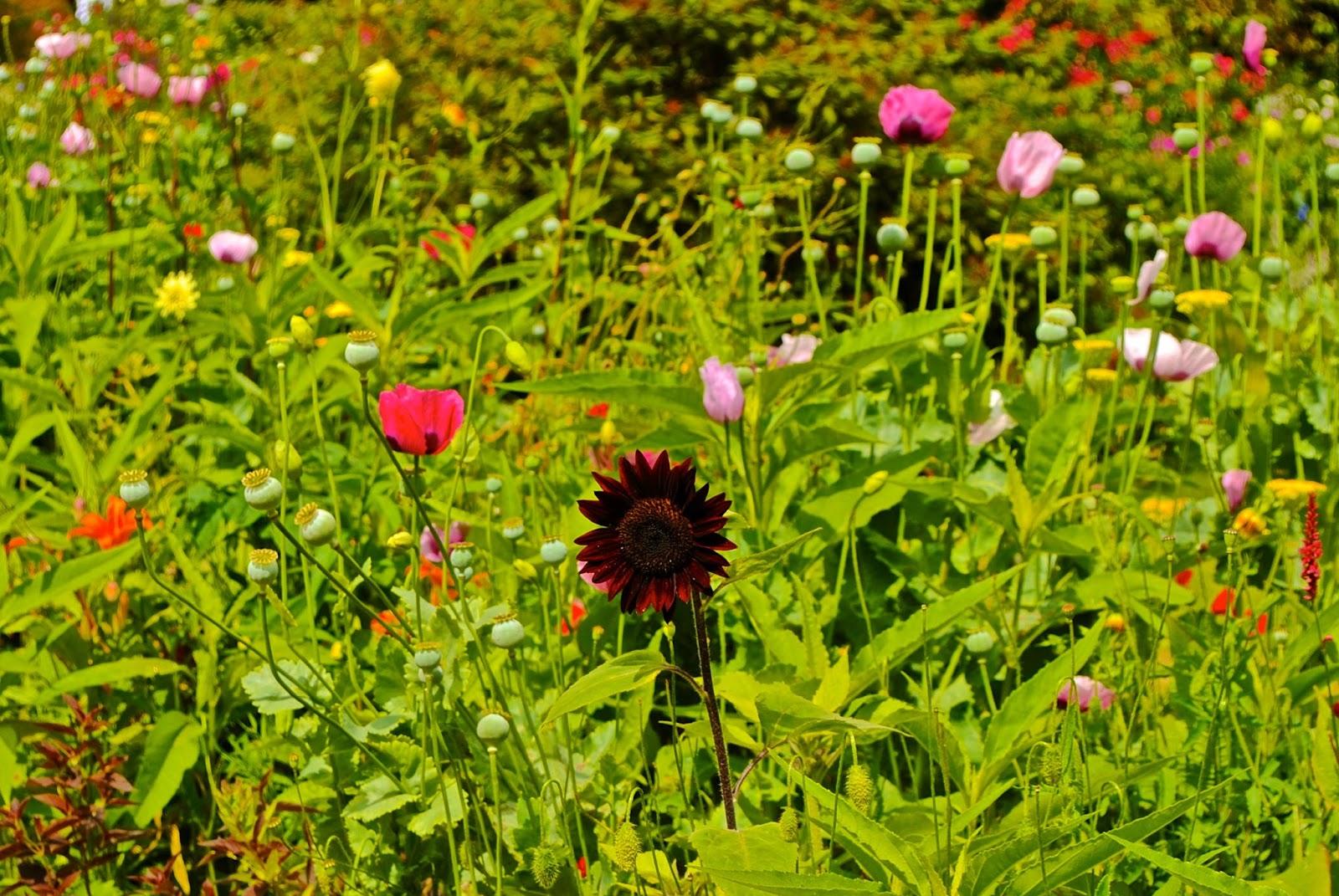 Red Sunflower at Monet's Garden