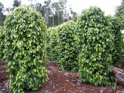 Agro Nusantara - Panduan cara budidaya Lada varietas unggul organik kultur jaringan pupuk poc nasa hormonik supernasa power nutrition pestona pentana bvr glio greenstar