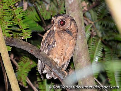 Sunda Scops Owl (Otus lempiji)