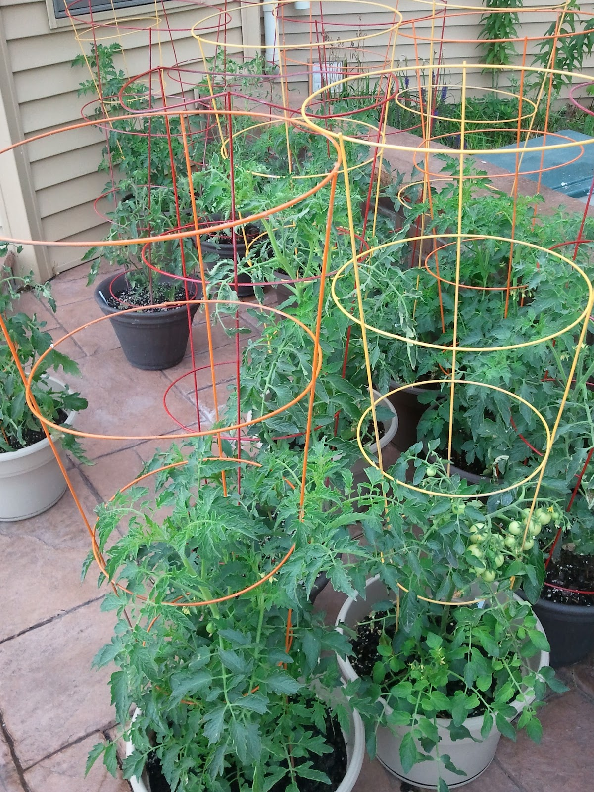 Container gardening in wisconsin diy painted tomato cages - Best tomato plants for container gardening ...