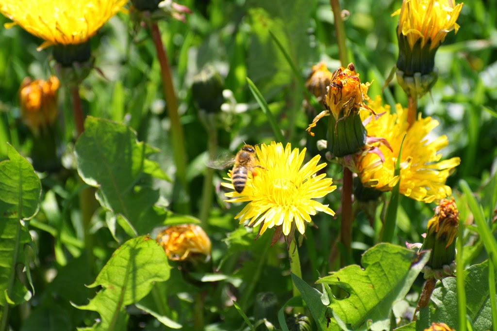 Biene an Frühlingsblumen