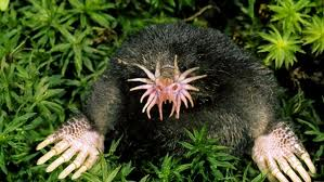 Star-nosed Moles picture