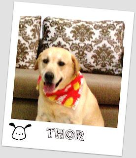 Thor -  meu labrador de estimação