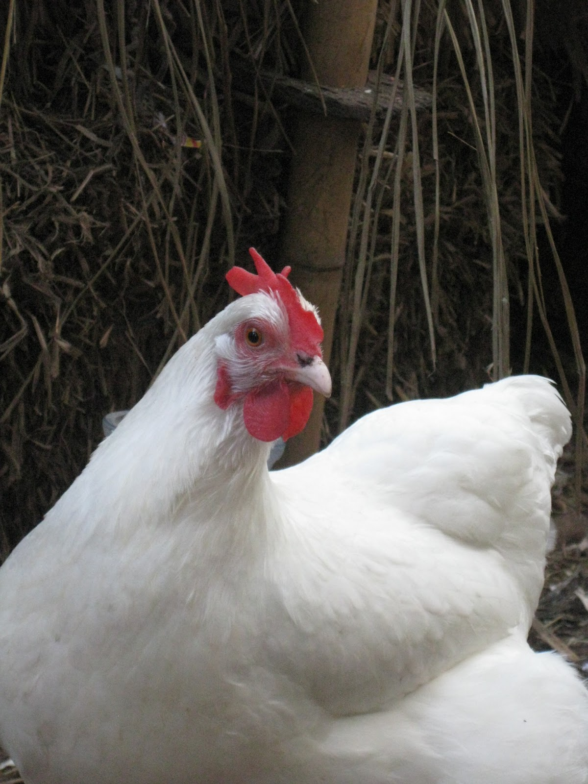 the practical frog blog why we bought heritage chickens