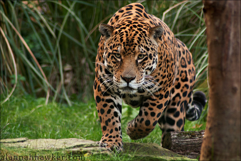 world all animals danger jaguars. Black Bedroom Furniture Sets. Home Design Ideas