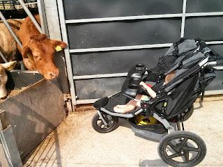 bob cow cow bob